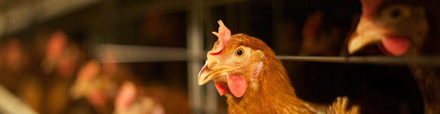 10.5 mln laying hens flock